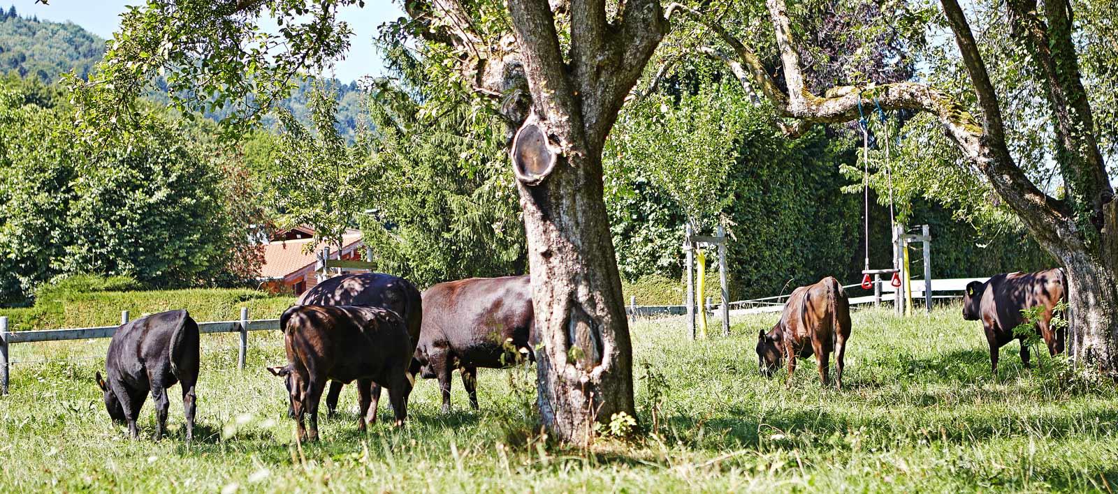 Bild Weidehaltung Wagyu Oberland